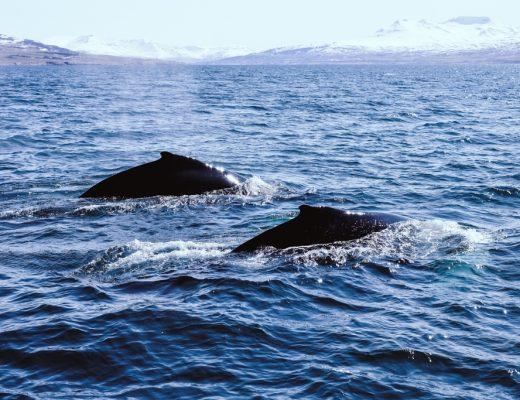 whale watching akureyri island